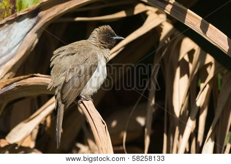 Common Bulbul Fluffing Out His Feathers