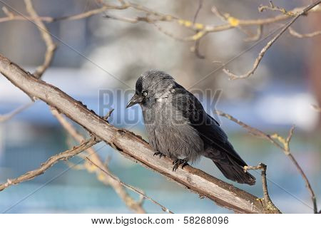 Daw sits on a mountain ash branch
