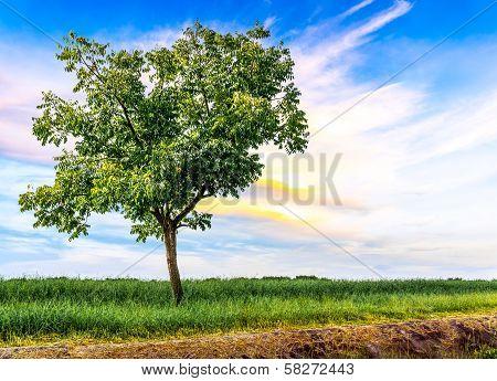 Single Tree In Meadow