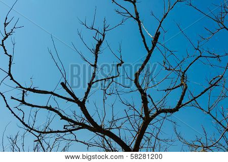 Silhouette Of Dried Trees On A Cloudless Blue Sky Background