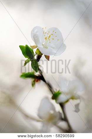 White Spring Flower. Nature Blur Backgrounds