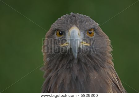 Golden Eagle looking at you