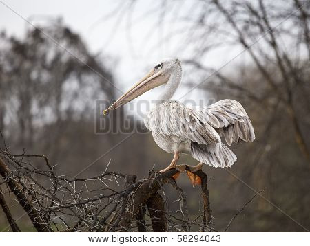 White Pelican on the tree branch