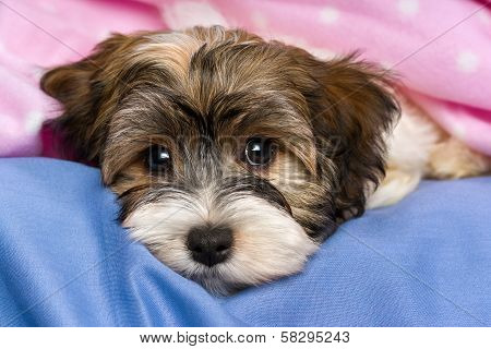 Cute Tricolor Havanese Puppy Dog Is Lying In A Bed