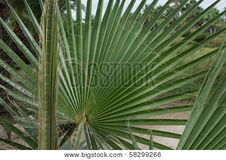 Leaves Of Fan Palm Or Palmito