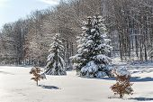 stock photo of blanket snow  - A fresh blanket of snow covers the evergreen trees in Duanesburg New York.