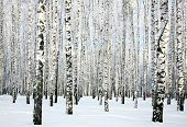 stock photo of birching  - Beautiful winter birch forest in sunny weather - JPG