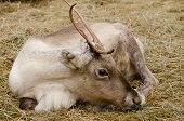 stock photo of laplander  - A resting reindeer on dry grass in lapland - JPG