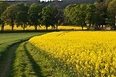 stock photo of rape  - Yellow Oilseed rape field with trees and grass - JPG
