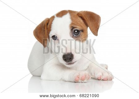 Jack Russell Puppy On White