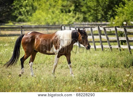 Appaloosa Horse In A Pasture