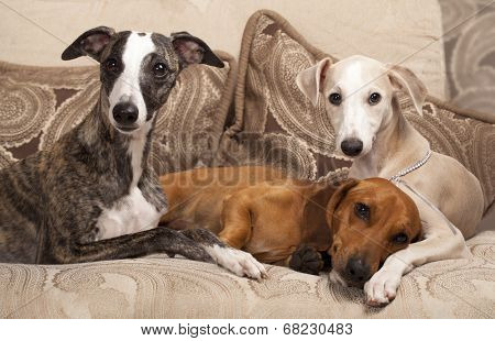 group of dogs, dachshund and whippet