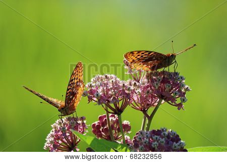 Two Aphrodite Fritillary butterflies