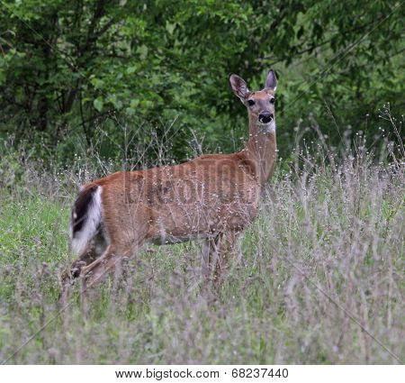 Alert White-tailed Deer