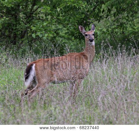 Alert White-tailed Deer