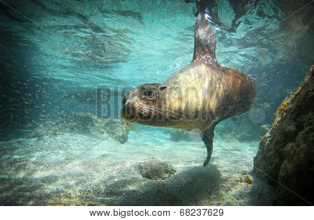 Sea lion swimming underwater in ocean