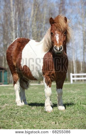 Beautiful Skewbald Shetland Pony Standing In Outdoor
