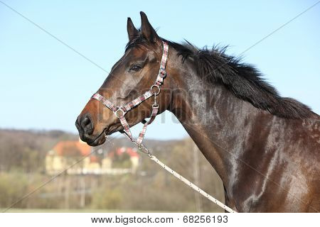 Portrait Of Nice Brown Horse With Halter