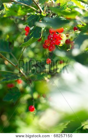 Growing Redcurrants In The Bush