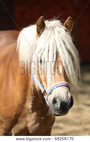 Beautiful Haflinger With Colorfull Halter