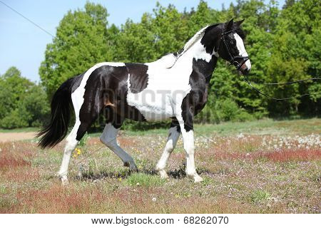 Beautiful Skewbald Stallion With Nice Haircut