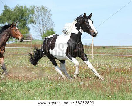 Beautiful Skewbald Stallion Running On Flowering Pasturage