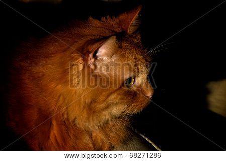 Portrait Of An Orange Cat At Night