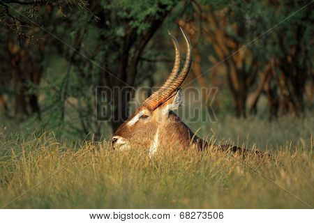 Large waterbuck bull (Kobus ellipsiprymnus) resting in grass, South Africa