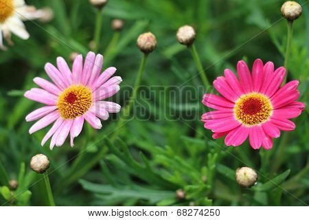 Daisy flowers and buds