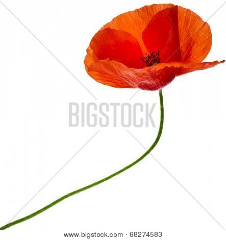 One red poppy flower close up  isolated on a white background