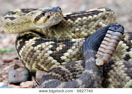 Arizona blacktail rattlesnake