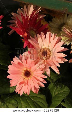 warm pale pink gerbera daisies