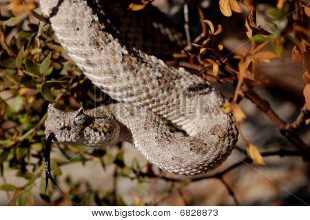 Sidewinder rattlesnake in the california desert