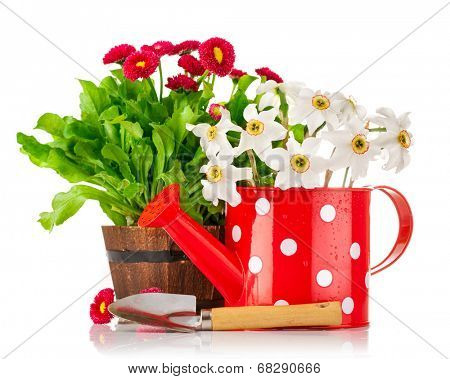Spring flowers in pot and watering can. Isolated on white background