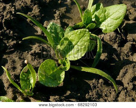 young spinach seedlings growing on a vegetable bed