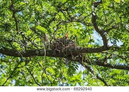Robin Chicks in a Nest