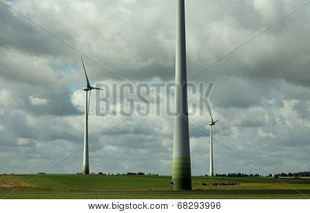 Cows on the wind farm