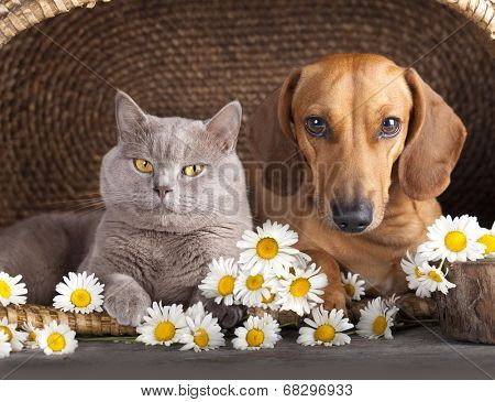 British kitten  and  dog red dachshund, cat and dog