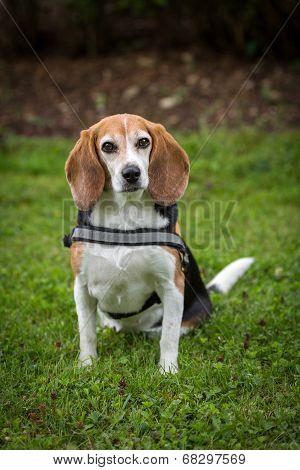 Beagle Lady