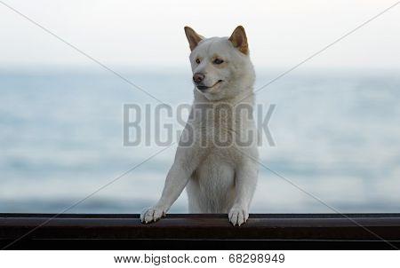 Male Shiba Inu Dog At The Beach