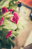 foto of cockscomb  - Celosia or Wool flowers or Cockscomb flower in the garden or nature park vintage - JPG