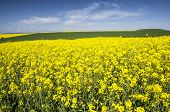 picture of rape-field  - Rape field and the blue sky behind - JPG