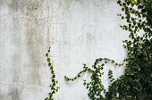 image of climber plant  - A climber plant on old concrete wall - JPG