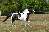 foto of paint horse  - Gorgeous paint horse running on flowered spring pasturage - JPG