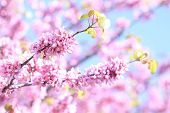 stock photo of judas  - Part of a Judas tree in full blooming - JPG