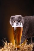 image of scottish-fold  - Scottish fold cat checking out a glass of light beer