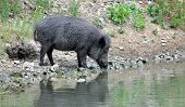 picture of boar  - Wild boar on the lake during the day - JPG