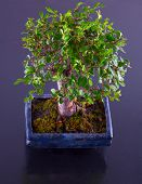 image of elm  - A bonsai elm over black reflecting background - JPG