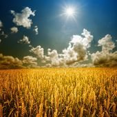 picture of whole-wheat  - field of grass - JPG