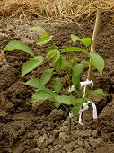 stock photo of walnut-tree  - walnut tree sapling two months from germination - JPG
